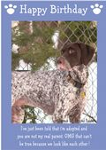 "German Short Haired Pointer-Happy Birthday - ""I'm Adopted"" Theme"